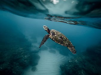 Photography of black turtle under water