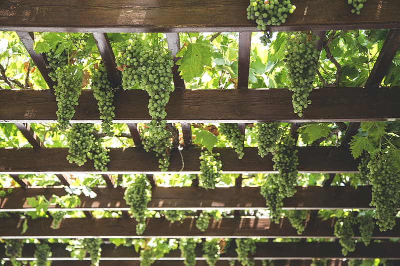 Green grapes on wooden ceiling