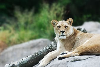 Shallow focus photography of brown lioness on gray stone during daytime