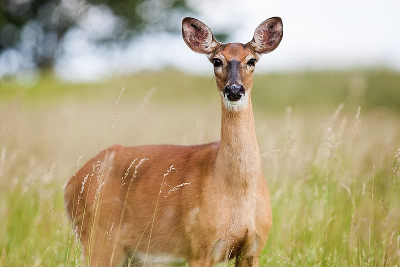 Brown deer on green grasses