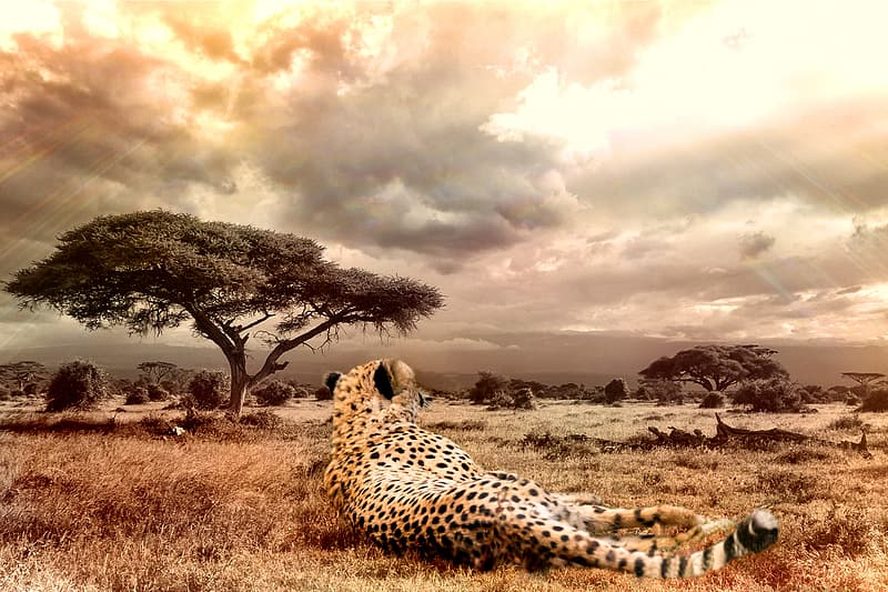 Wildlife photo of brown and black cheetah lying on brown grasses