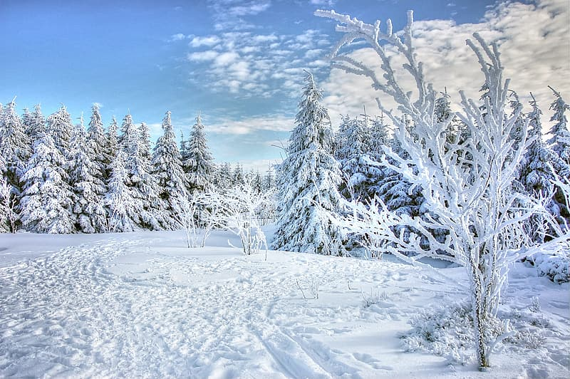Pine trees covered with snow at daytime