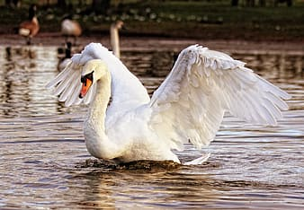 White goose floating on water