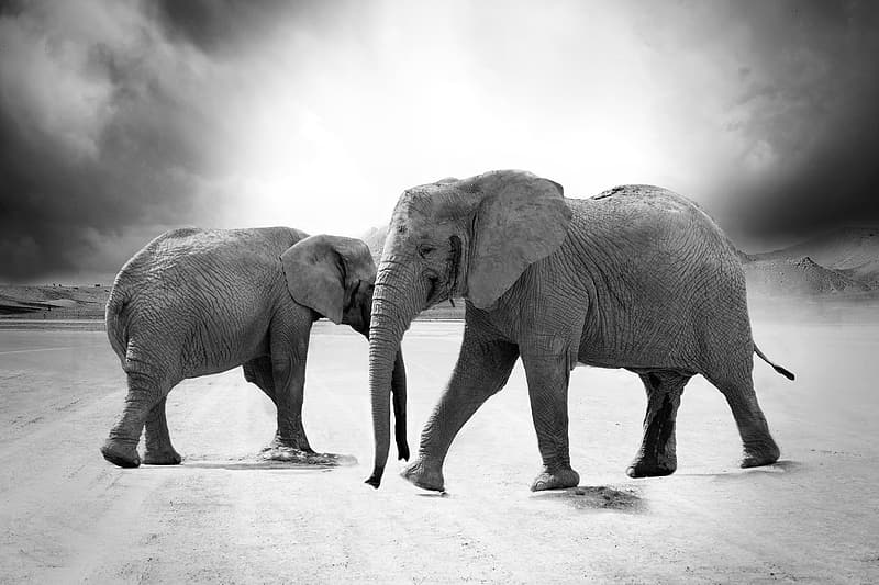 Gray scale photography of two elephants