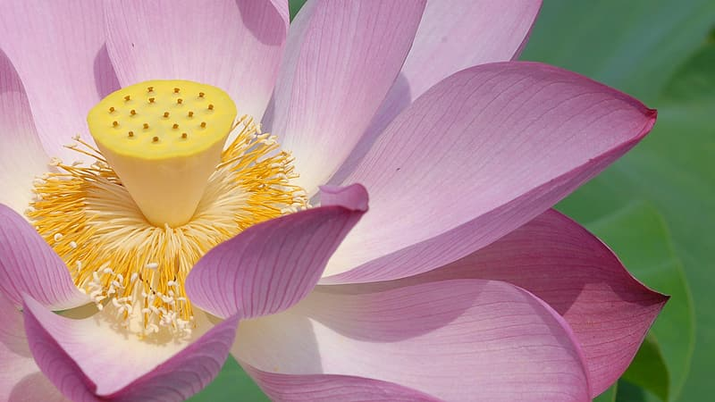 Pink lotus flower in bloom close up photo