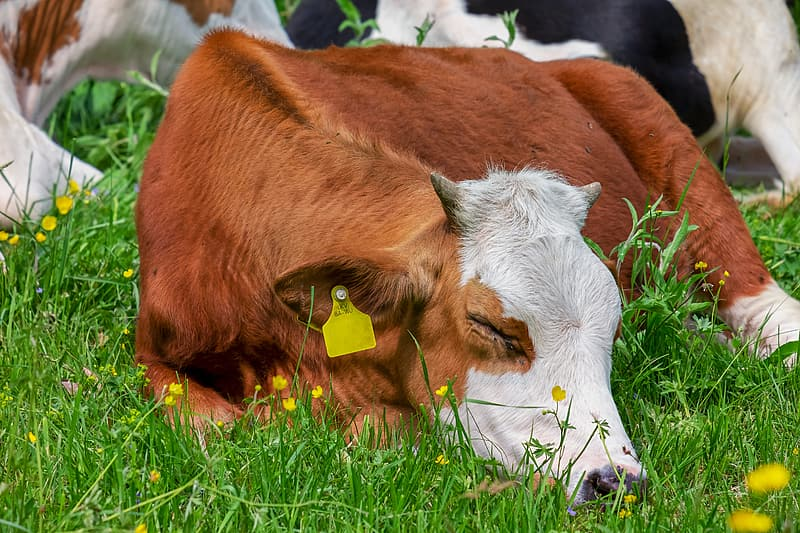 Brown and white cow sleeping on grass