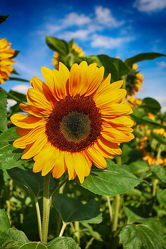 Closeup photo of sunflower