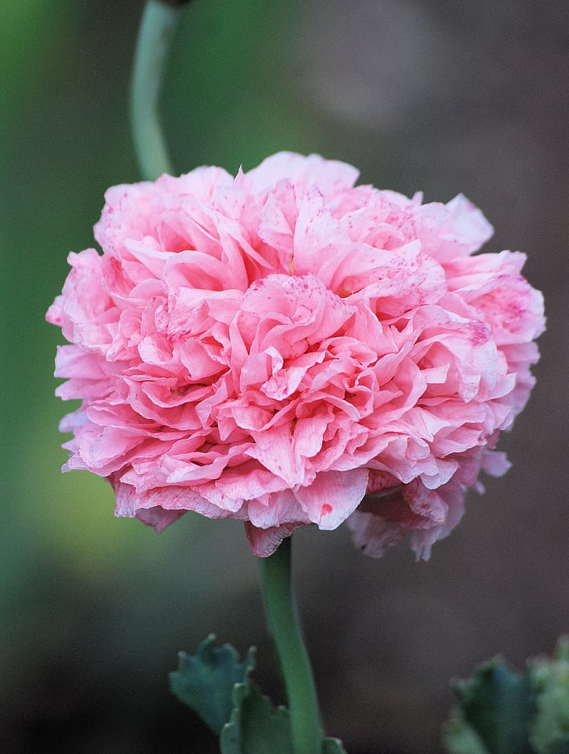 Pink petaled flower in closeup photography