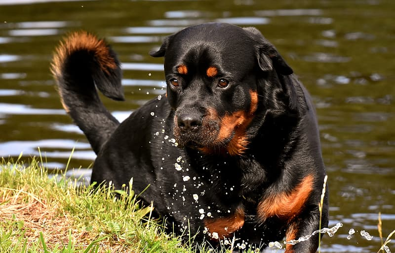 Adult brown and black Rottweiler on grass field