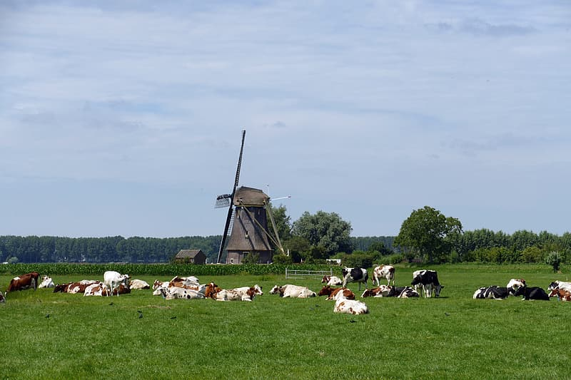 White and black cows on green grass field during daytime