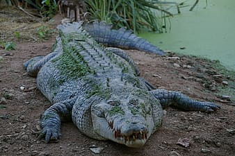 Gray saltwater crocodile