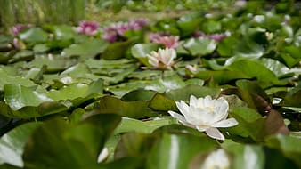 Selective focus photography of pink and white water lilies