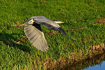 White and black bird flying over green grass field during daytime