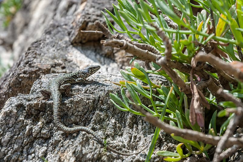 Brown and gray lizard on brown rock