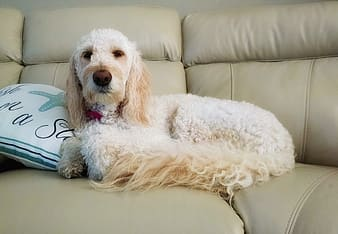 White poodle resting on sofa