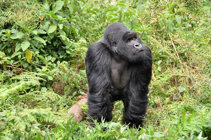 Black gorilla in middle of green leafed plants