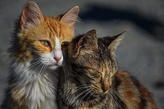 Selective focus photography of two orange and black cats beside each other