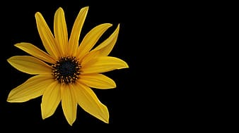 Sunflower on black background