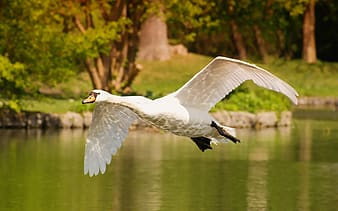 White duck flying over the river during daytime