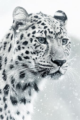 Shallow focus on white snow leopard
