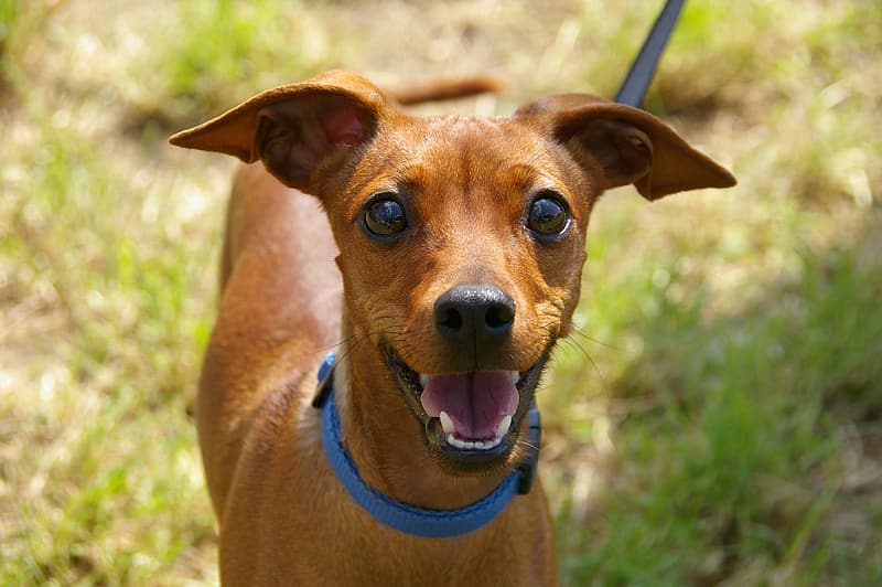 Short-coated brown dog with blue collar