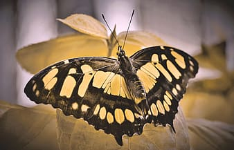 Black and yellow butterfly on white flower