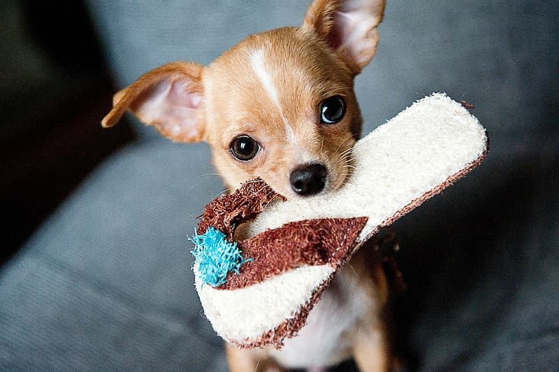 Tan chihuahua with slipper on it's mouth graphic wallpaper