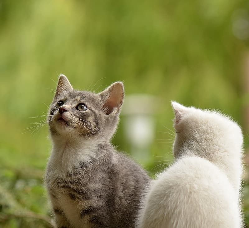 Silver and white tabby cats