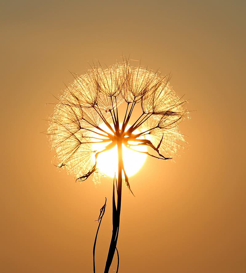 Silhouette photography of dandelion during golden hour
