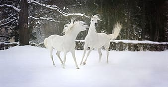 Two white horse on snow surrounded by trees during daytime