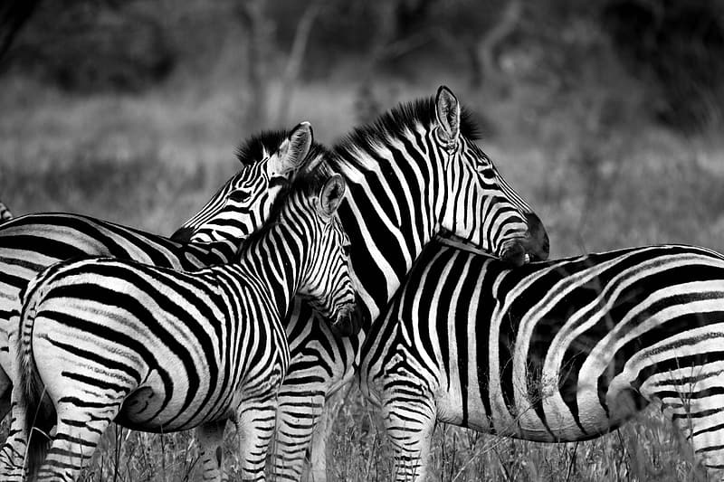 Three zebra standing on ground with grass