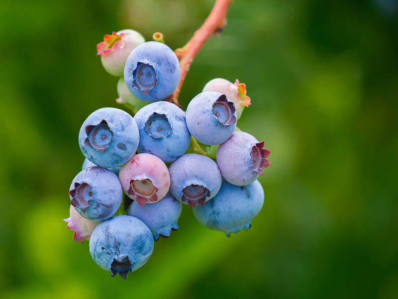 Selective photo of blueberry fruits