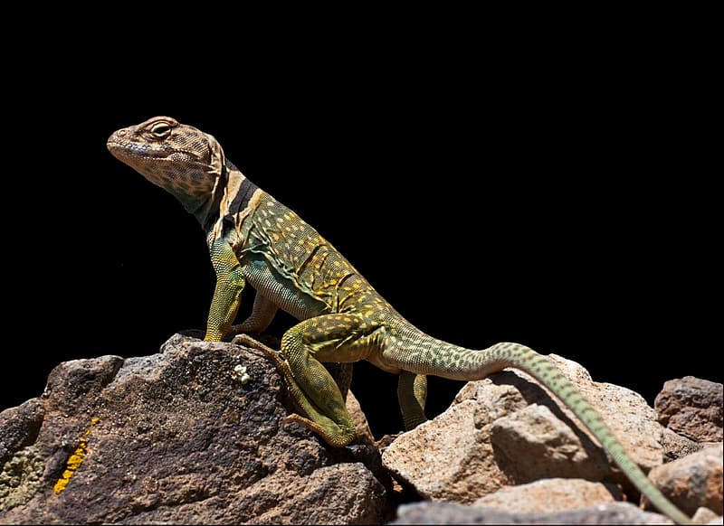 Green and brown lizard on brown rock