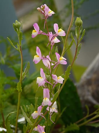 Summer Toadflax, Roadside Toadflax