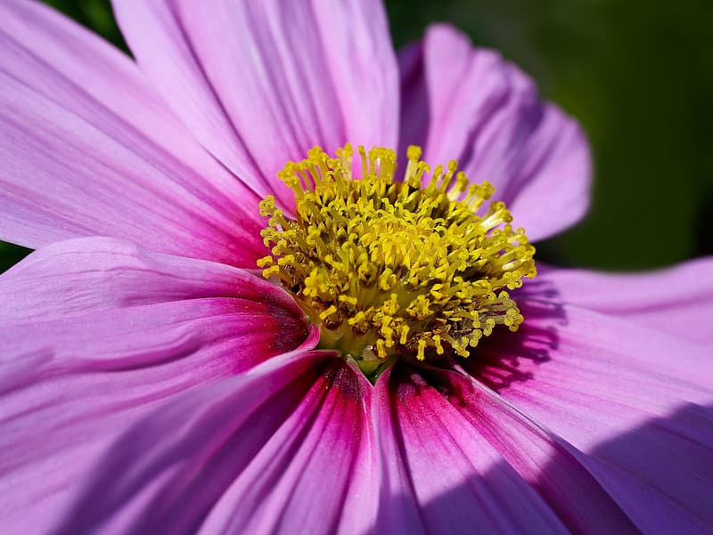 Pink and yellow daisy flower in bloom macro photo