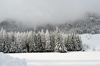 Snow-covered pin trees photography during daytime