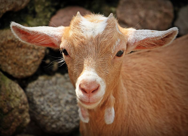 Brown and white goat