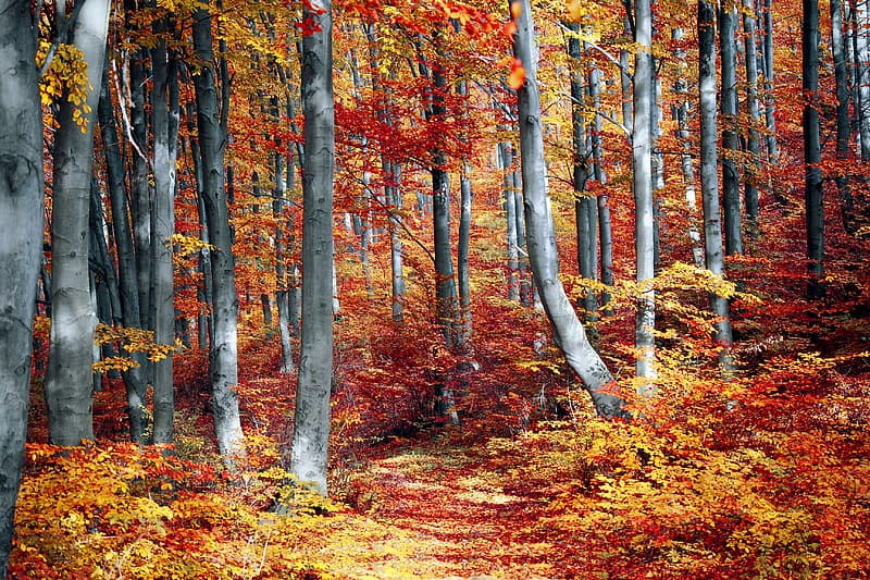 Photo of tall gray-red-and-yellow leaf trees