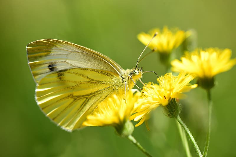 White and gray butterfly on yellow flower