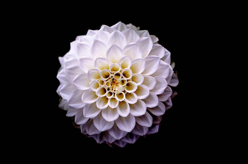 Top-view of cluster petaled white flower