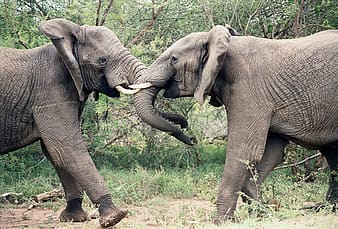 Two gray elephants on ground at daytime