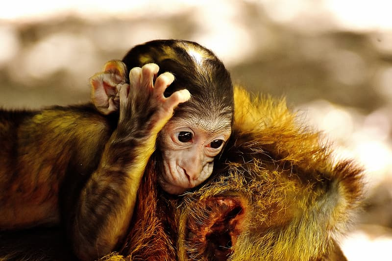 Selective focus photography of monkey