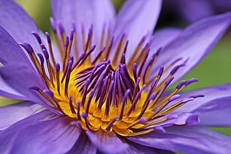 Purple and yellow waterlily closeup photo