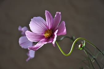 Purple cosmos flower in closeup photography