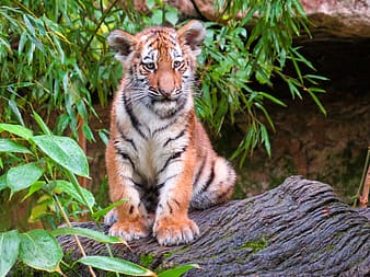 Tiger lying on brown tree log