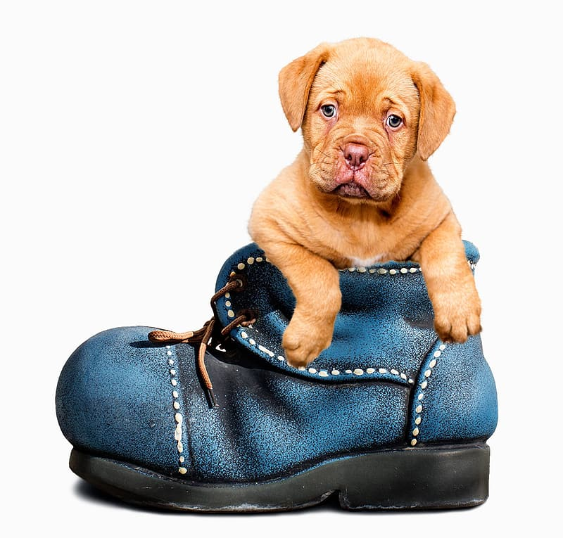 Brown pit bull puppy in blue leather shoe