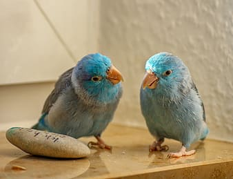 Two blue birds on brown wooden table