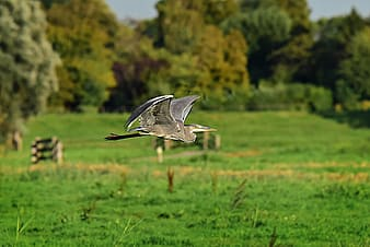 Grey and white bird flying over green grass field during daytime