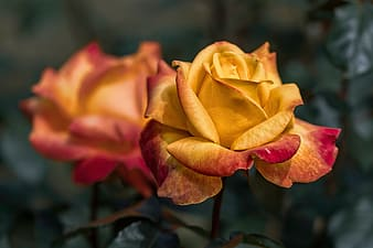Selective focus photo of red and yellow rose