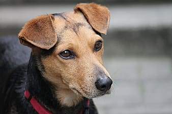 Close-up photo of short-coated brown and black dog